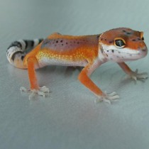Electric Hotgecko stripe