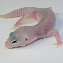 albeys linebred snow ghost eclipse